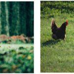Read more about the article Allez les poulettes et les poulets, c'est la reprise !