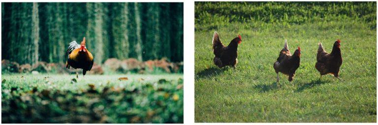 Allez les poulettes et les poulets, c'est la reprise !